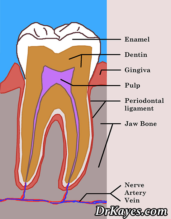 Dental Terminology Dental Topics Drkayes Com